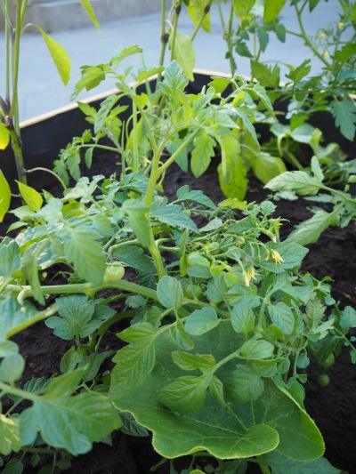 tomatoes, still green
