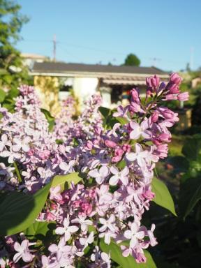 hello, lilacs!